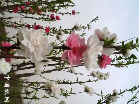 洒红龙柱桃