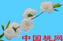白重瓣垂枝